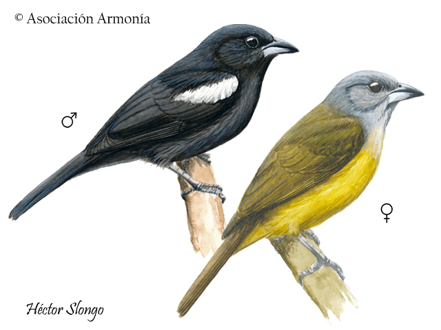 White-shouldered Tanager (Islerothraupis luctuosa).