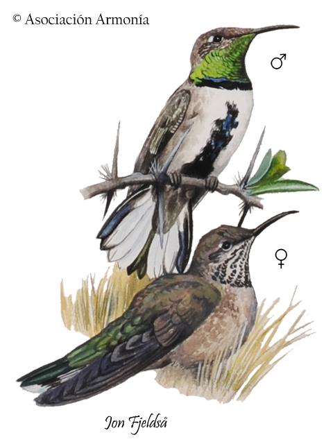 White-sided Hillstar (Oreotrochilus leucopleurus)