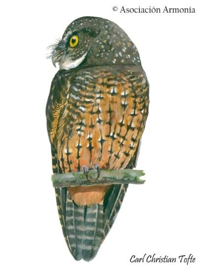 White-throated Screech-Owl (Megascops albogularis)