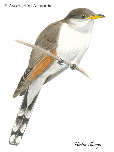 Yellow-billed Cuckoo (Coccyzus americanus) (1)