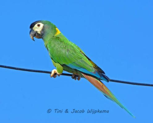 Yellow-collared Macaw (Primolius auricollis). Copyright T&J Wijpkema.