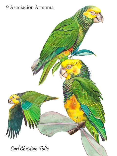 Yellow-faced Parrot (Alipiopsitta xanthops)