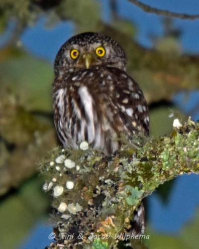Yungas Pygmy-Owl (Glaucidium bolivianum). Copyright T&J Wijpkema.