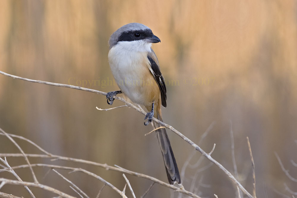 Long-tailed Shrike Lanius schach
