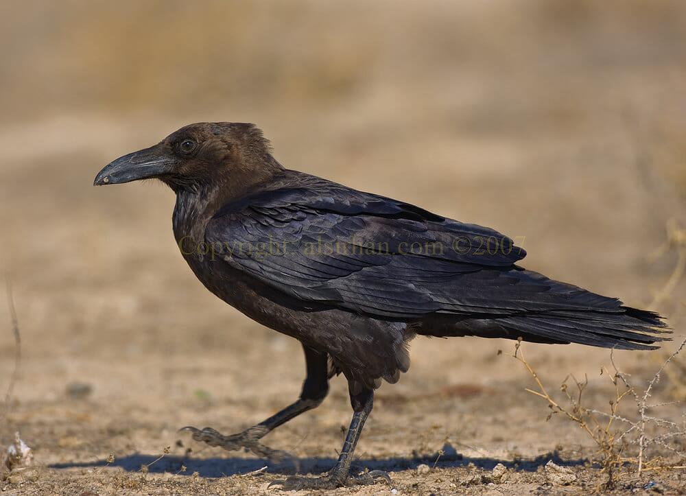 Brown-necked Raven Corvus ruficollis