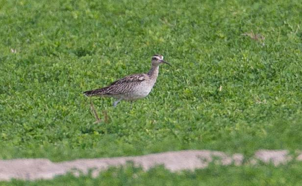 Little_Curlew_MG_7078