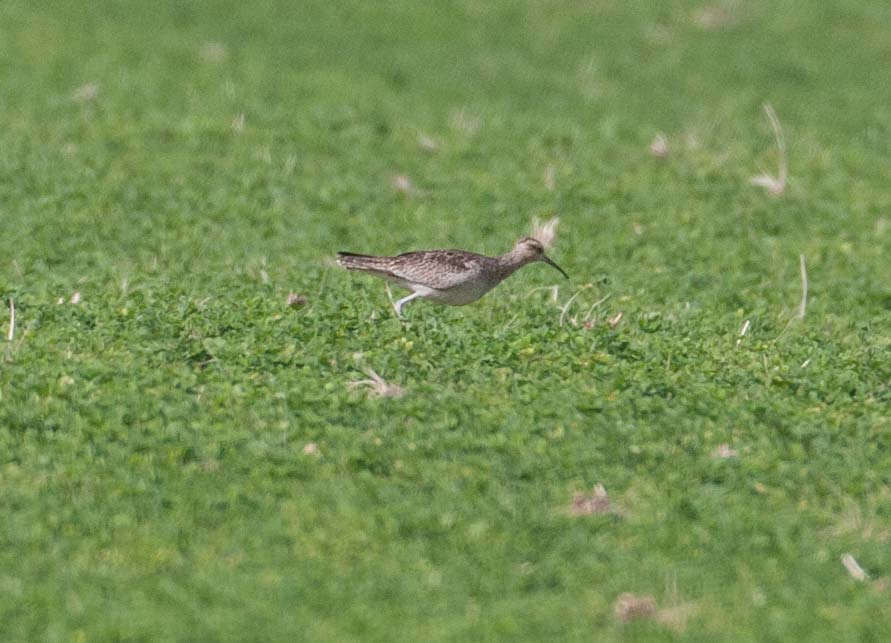 Little_Curlew_MG_7094