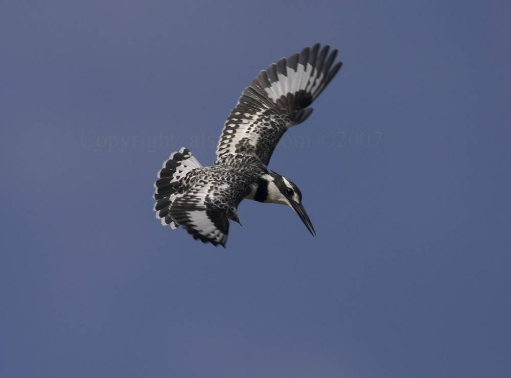 Pied_Kingfisher_MG_7191_4