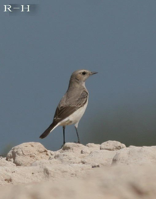 A Mourning Wheatear