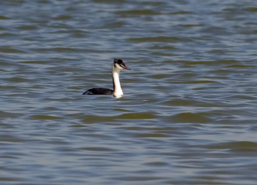 Greater Crested Grebe podiceps cristatus