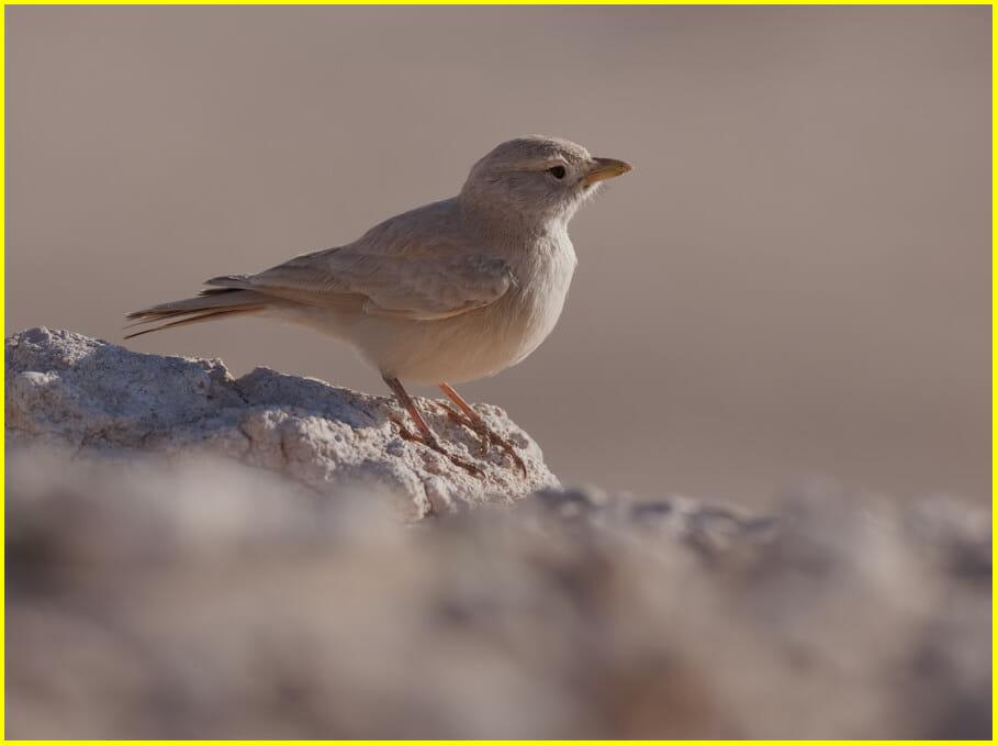 Desert Lark  Ammomanes deserti