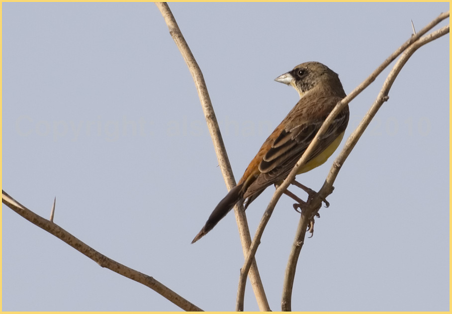 Black-headed Bunting Emberiza melanocephala
