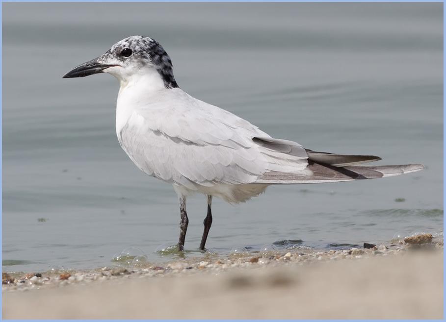 Gull-billed_Tern_MG_2556