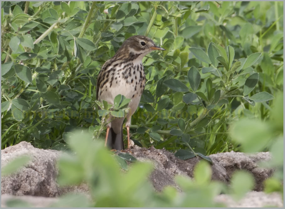 Buff-bellied Pipit Anthus rubescens japonicus