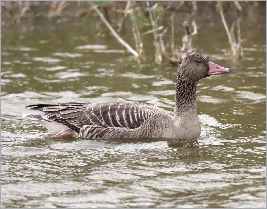 Eastern Greylag Goose Anser anser rubrirostri