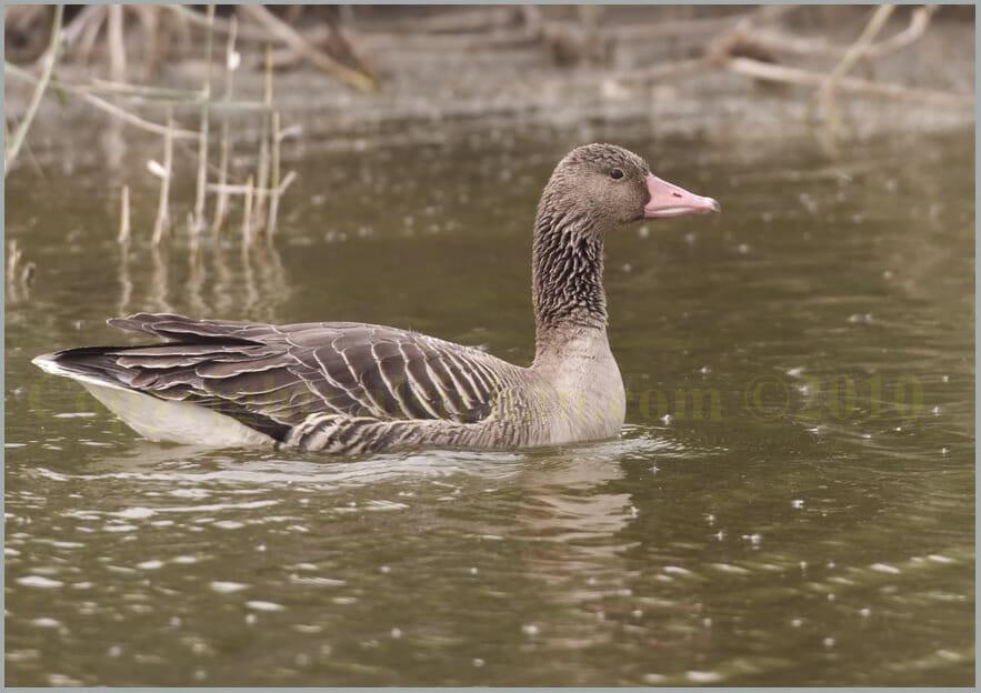 Eastern Greylag Goose Anser anser rubrirostri (Juvenile)