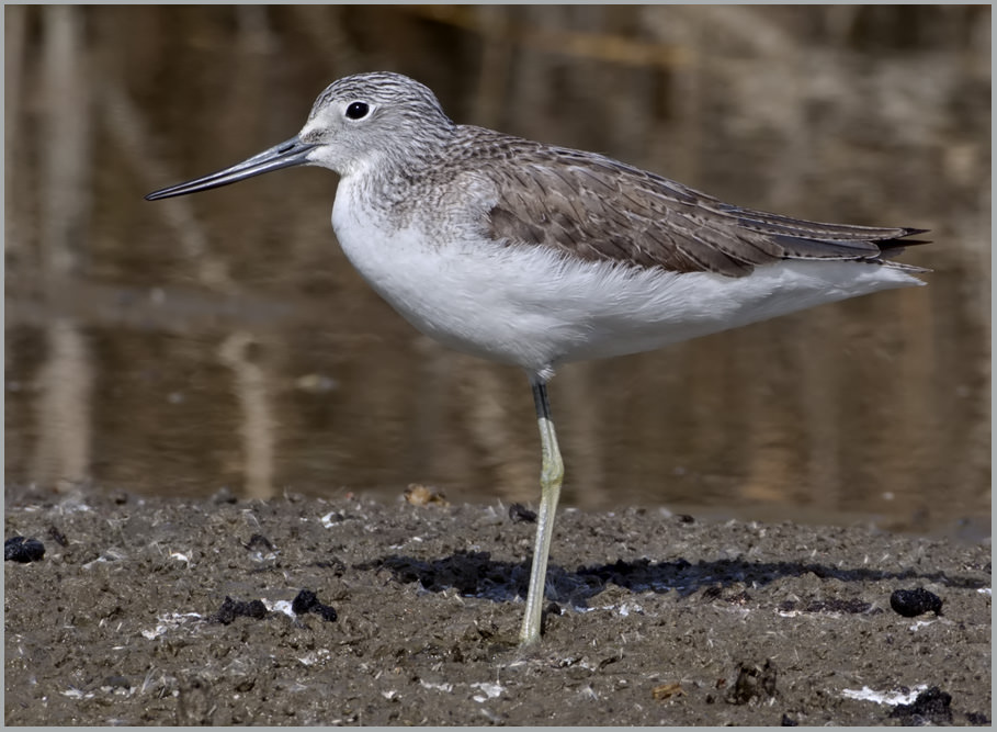 Common Greenshank Tringa nebularia