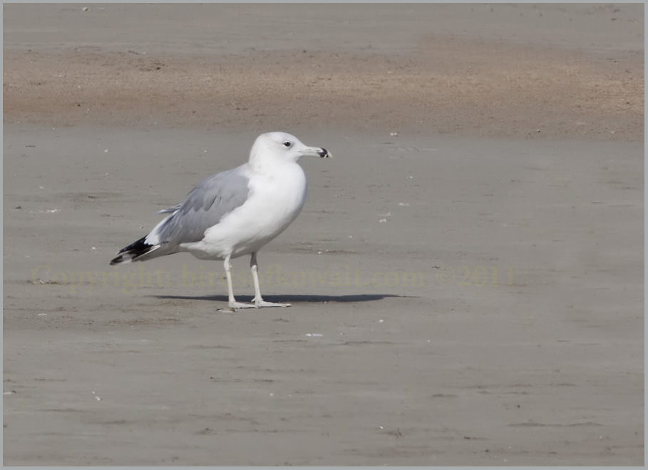 Caspian Gull Larus cachinnans 3rd winter