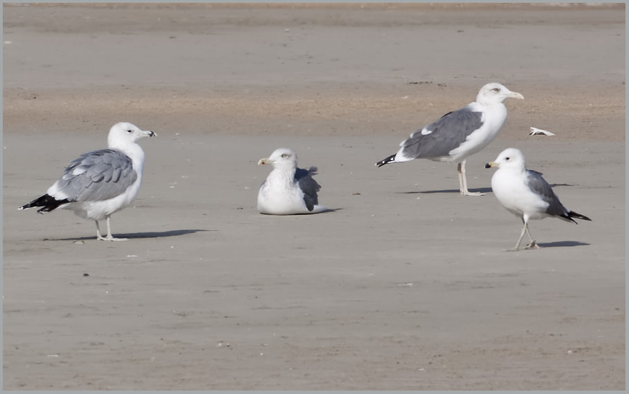 Heuglin's, Caspian and Armenian Gull