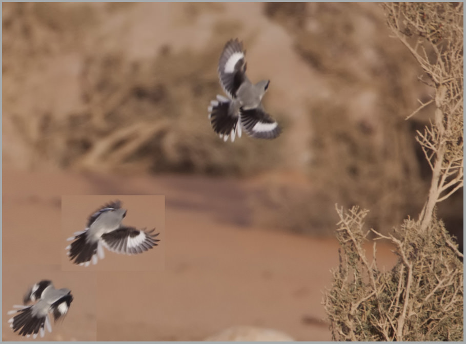 Arabian Grey Shrike Lanius aucheri