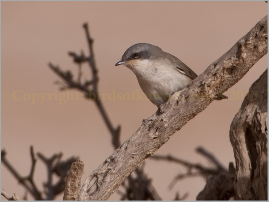 Desert Whitethroat Sylvia minula