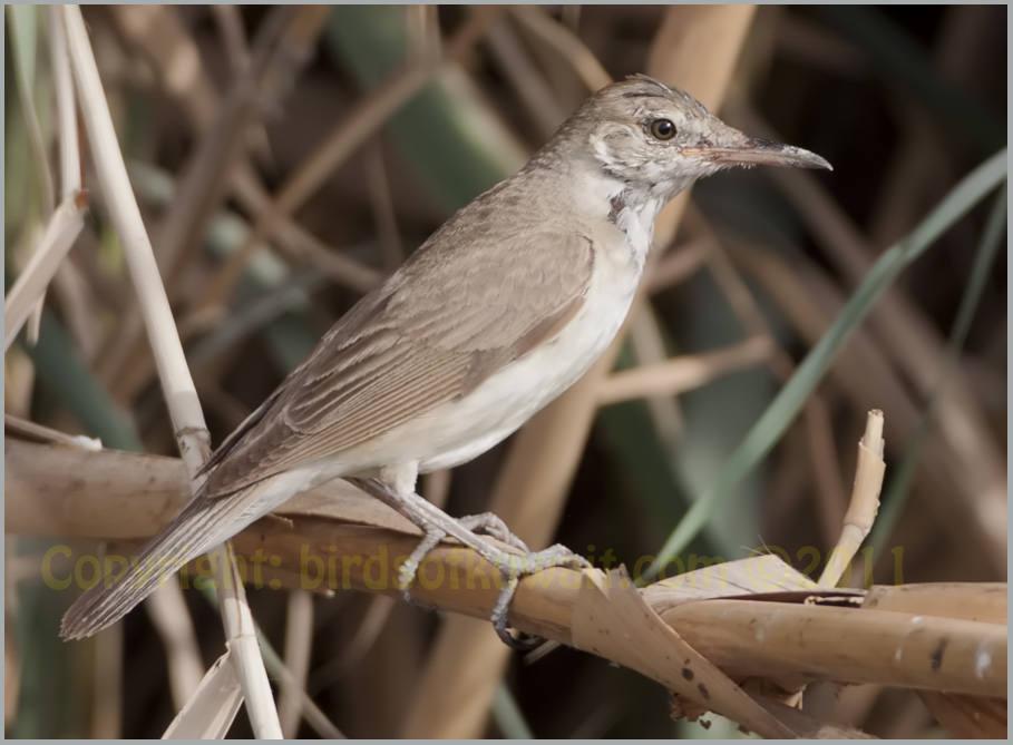 Basra Reed Warbler Acrocephalus griseldis