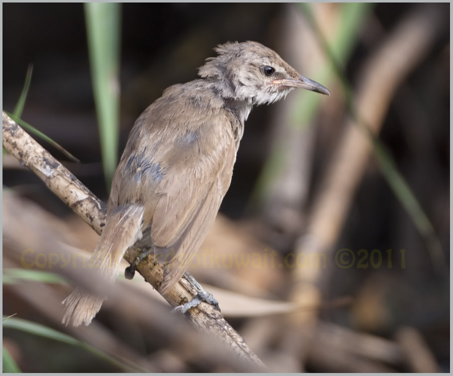 Indian Reed Warbler Acrocephalus (stentoreus) brunnescens