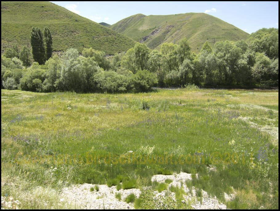 Mountain Chiffchaff Breeding habitat