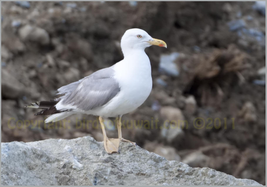 Yellow-legged Gull Larus michahellis