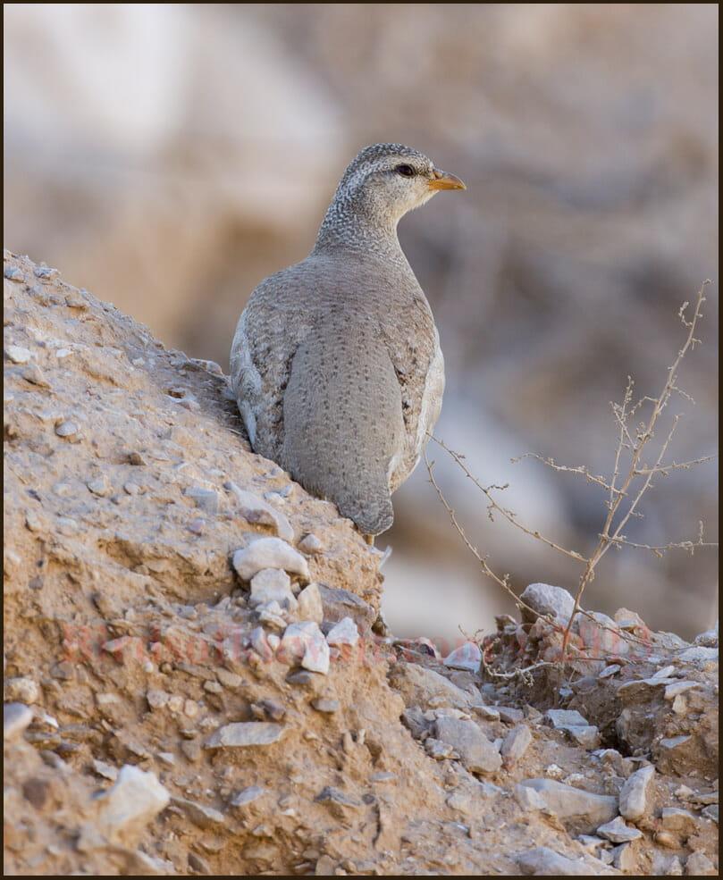 Sand Partridge Ammoperdix heyi