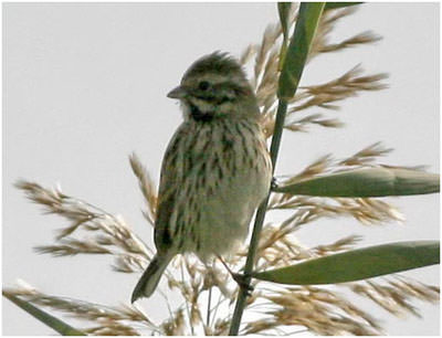 reed_bunting400