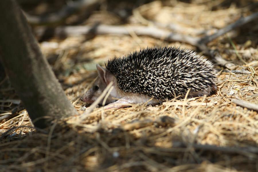 Long+eared+Hedgehog3016