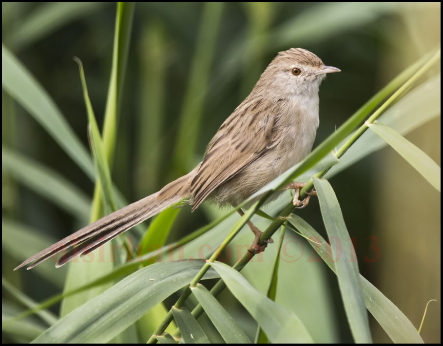 Graceful Prinia Prinia gracilis