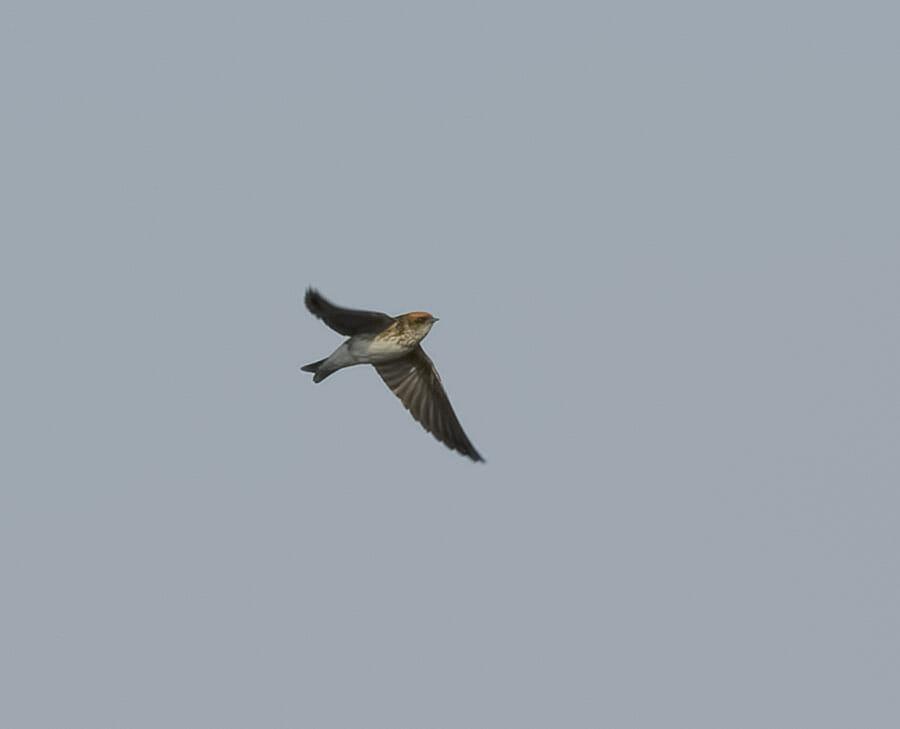 Streak-throated Swallow Petrochelidon fluvicola