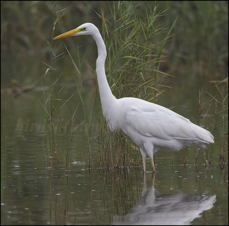 Western Great Egret Ardea alba