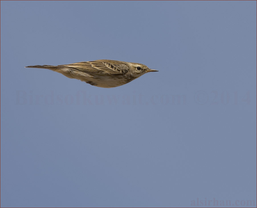 Water Pipit Anthus spinoletta