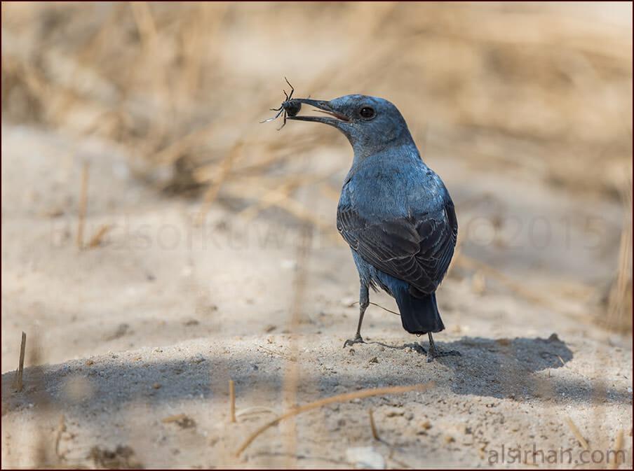 Blue Rock Thrush Monticola solitarius