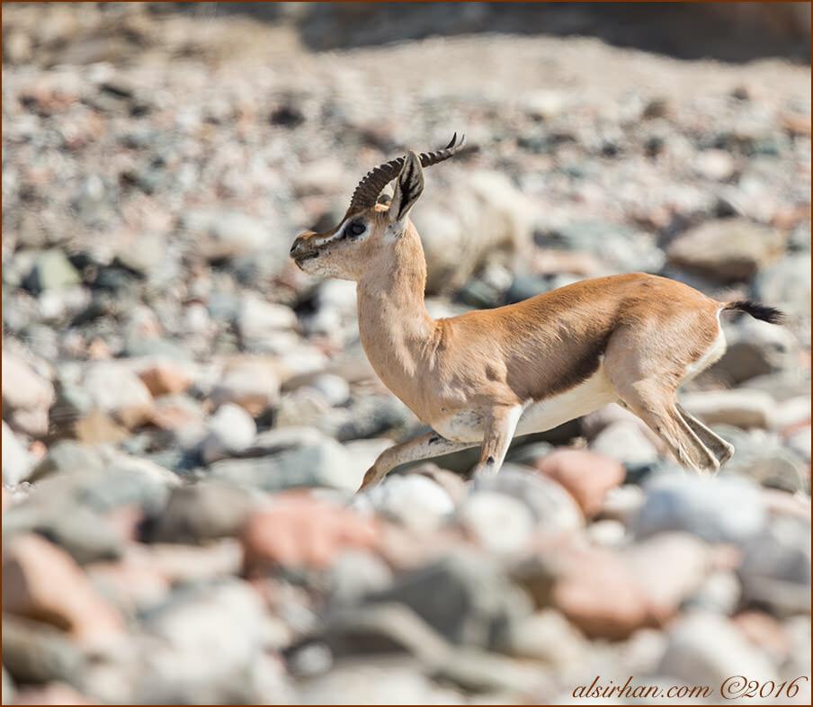 Arabian Gazelle Gazella gazella