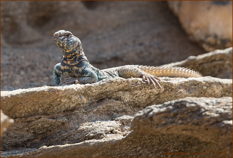 Bent's Spiny-tailed Lizard Uromastyx benti