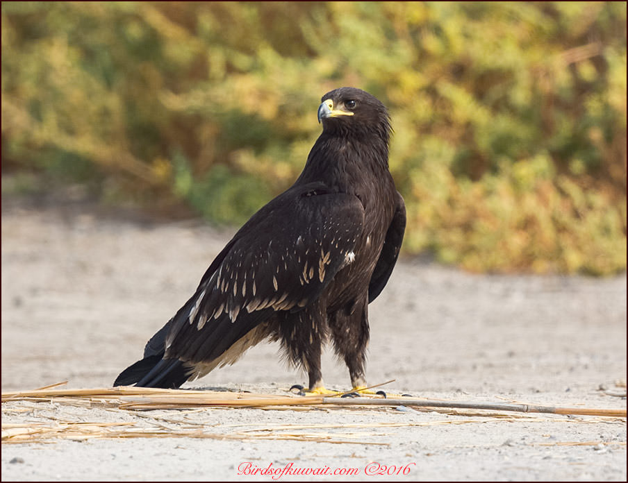 Greater Spotted Eagle Clanga clanga