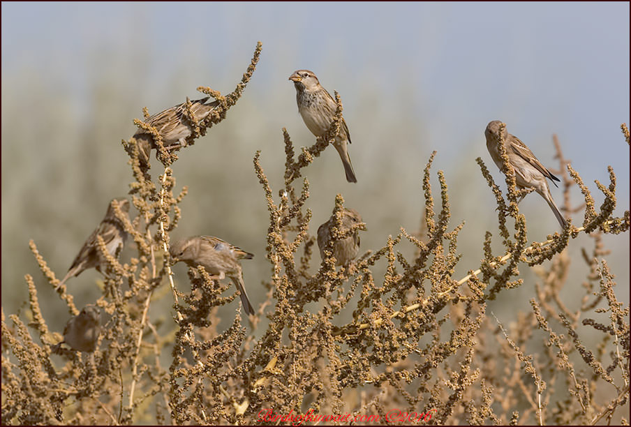 Spanish SparrowPasser hispaniolensis