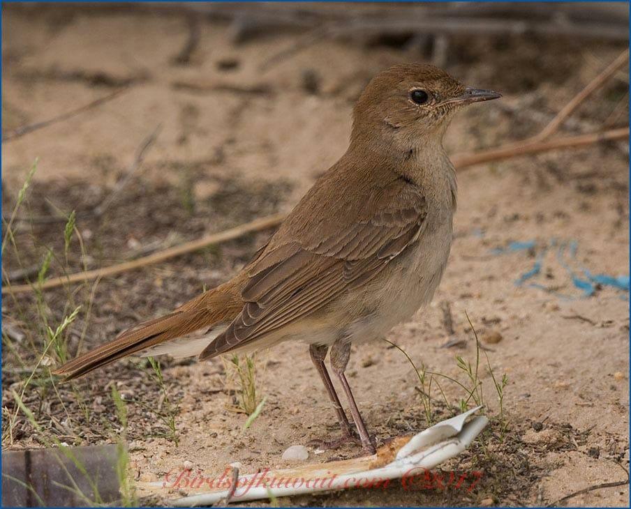Eastern Nightingale Luscinia (megarhynchos) golzii