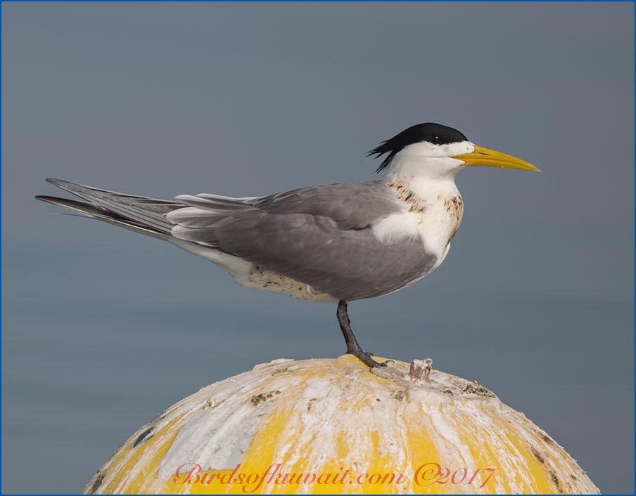 Greater Crested Tern Thalasseus bergii