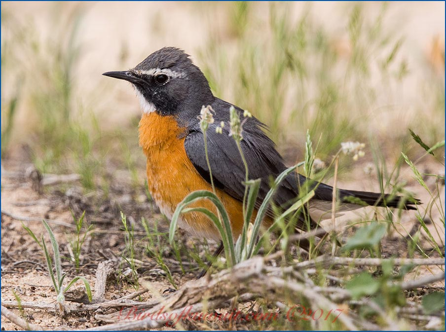 White-throated Robin Irania gutturalis