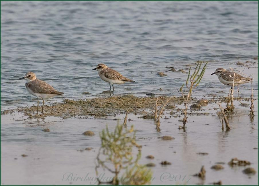 Lesser Sand Plover Charadrius mongolus and Greater Sand Plover Charadrius leschenaultii