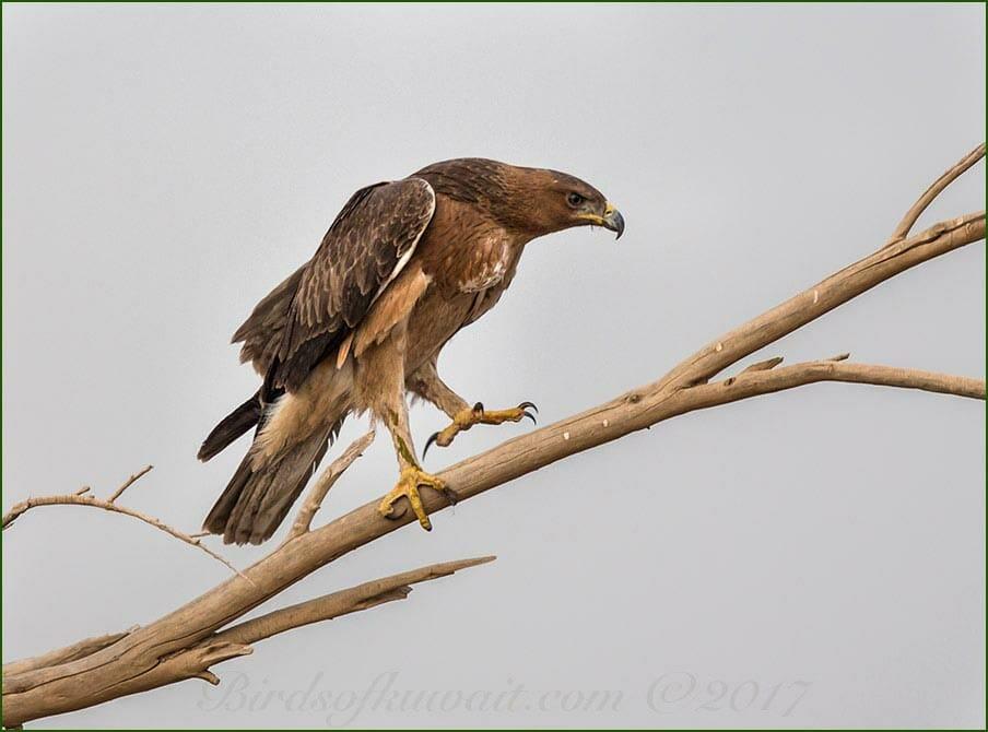 Bonelli's Eagle Aquila fasciata