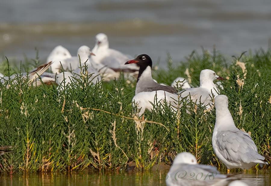 White-eyed Gull Ichthyaetus leucophthalmus second summer