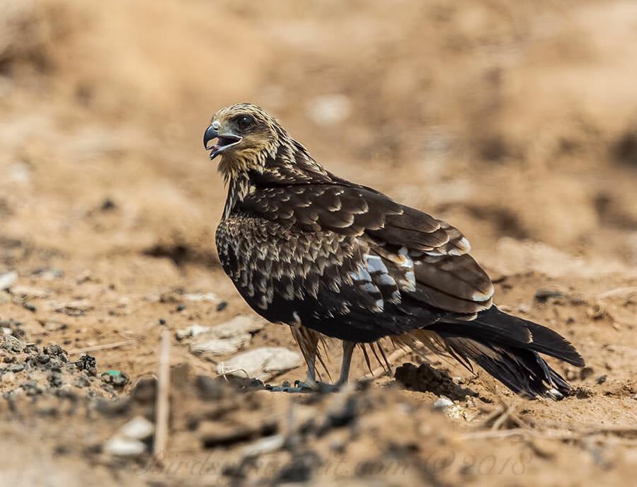 Black-eared Kite Milvus (migrans) lineatus