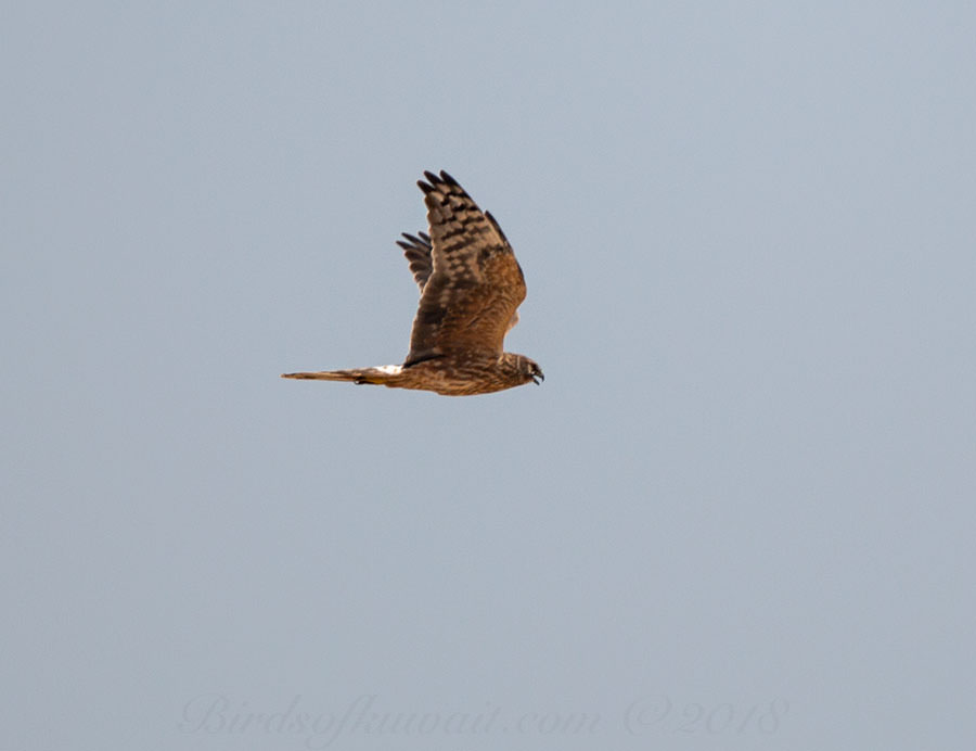Pallid Harrier Circus macrourus