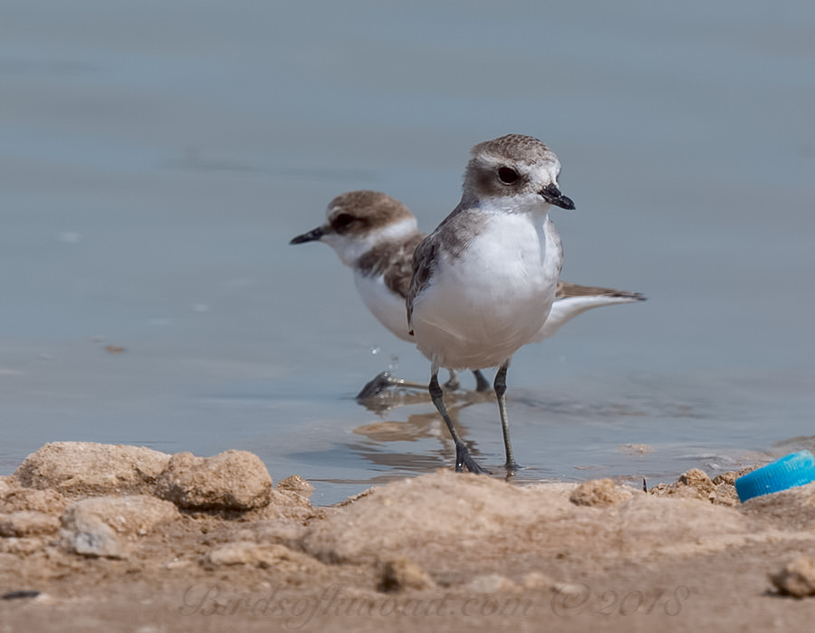 Lesser Sand Plover Anarhynchus atrifrons
